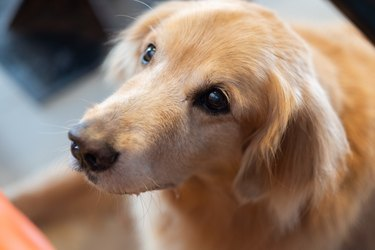 Close-Up Of Golden Retriever