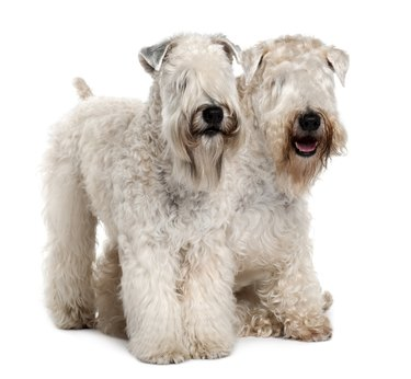 Side view of Two Soft-coated Wheaten Terriers standing