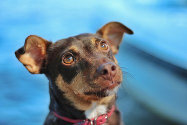 Portrait of a dog looking up expecting something with red collar