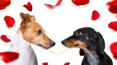 couple of dogs  in love sharing spaghetti surrounded by red rose petals