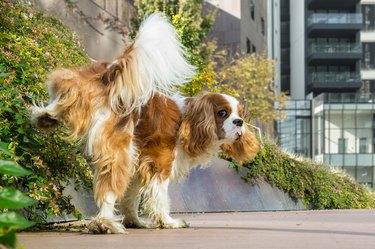 Dog peeing outdoors lifting leg