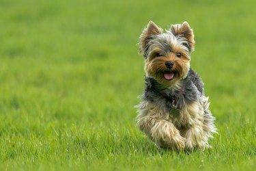 Happy toy dog running in grass.