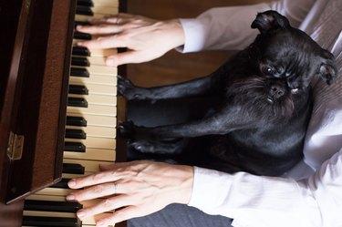 Belgian Griffon plays the piano.