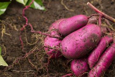 Sweet potato put on ground