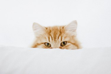Portrait of ginger cat hiding behind cushion