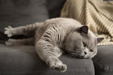British Short Hair cat lying on couch stretching