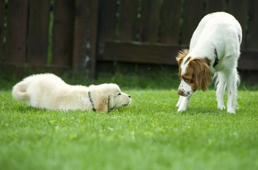 dogs learning to play together on grass