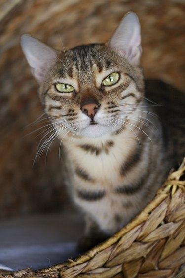 Grumpy bengal cat