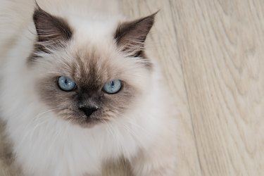 Close up portrait of fluffy cat with blue eyes.