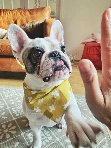 PortraFrench Bulldog puppy in yellow bandana giving high five