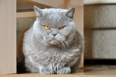 Portrait of British Short hair blue cat with yellow eyes sitting on the floor.
