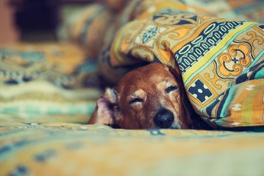 Old funny dog is sleeping sweetly on the couch