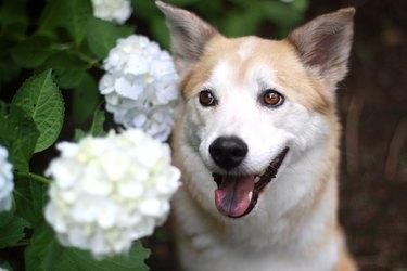 dog in front of white hydrangeas