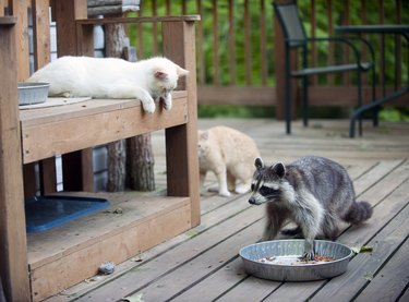 Raccoon stealing cat food while cats look on