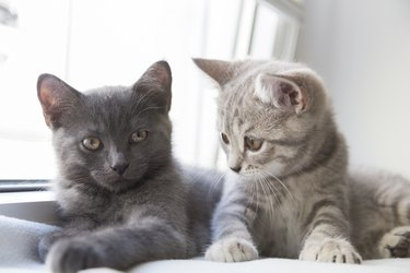 Two cute little British shorthair kittens