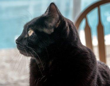 Profile of Bombay cat head