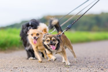 three little dogs side by side  pulling at the leash