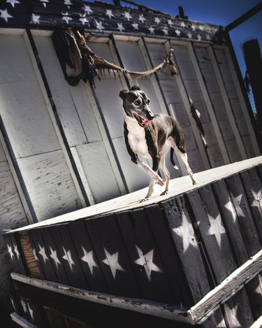 dog on stage