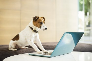 Dog working on laptop in office