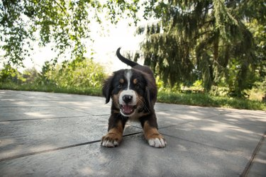 Cute puppy on patio in play position
