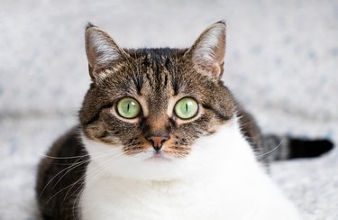 Portrait of cat lying on bed and staring into camera