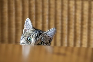 Curious kitten looking over the table