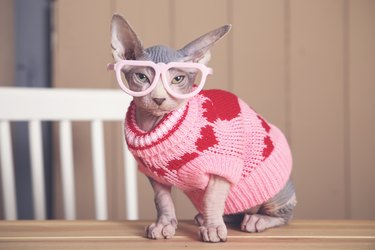 Portrait of Sphynx cat on table wearing pink pullover and funny glasses