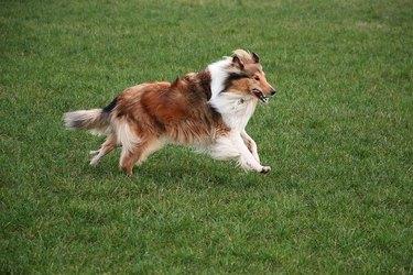 running brown collie