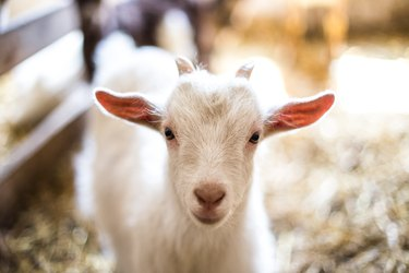 For $100, You Can Watch the Eclipse with Baby Goats and It's Worth Every Penny