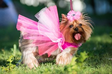 a dog in a pink dress posing outdoors