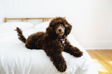Baby Poodle dog