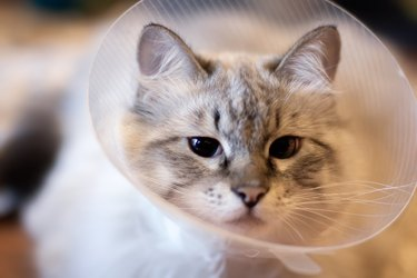 Cat recovering from spaying or neuturing