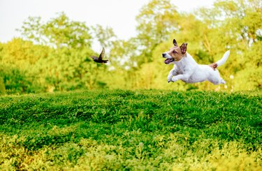 small dog playing off leash dog chasing bird in park
