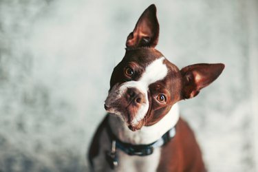 Portrait of Boston terrier, head cocked looking at camera