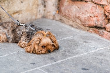 One cute adorable sad dog face tired animal lying down with leash small pedigree dog in Italy street