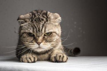 funny evil gray striped cat