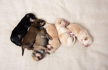 Litter of Newborn Puppies