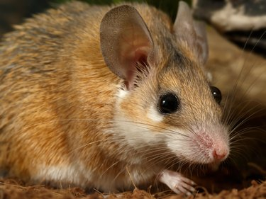 Close-up portrait of mouse. Gaze. Big eyes.