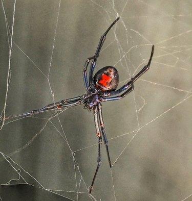 Close-Up Of Black Window Spider On Web