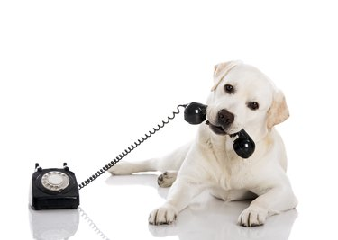 Labrador answering a call on old fashioned rotary phone