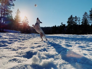 Dog playing with snowball