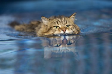 Cat swimming in the Pool