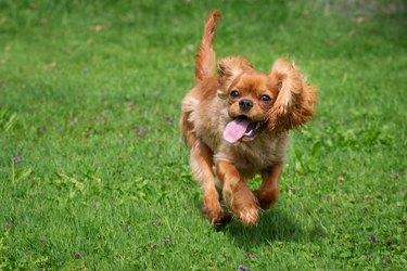 happy cavalier king charles spaniel puppy running
