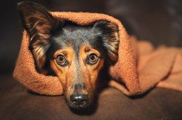 Dog hiding under blanket