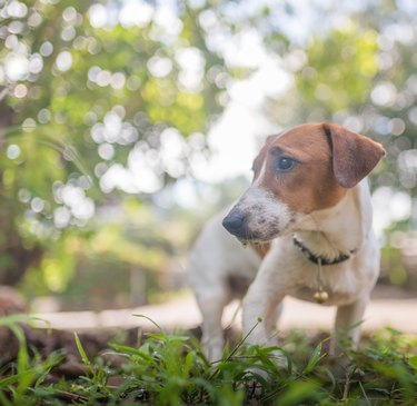 Little playful Jack Russell Terrier dog playing in garden in morning