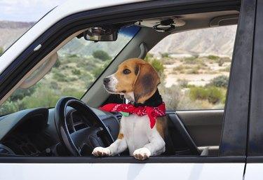 Beagle Dog with Handkerchief