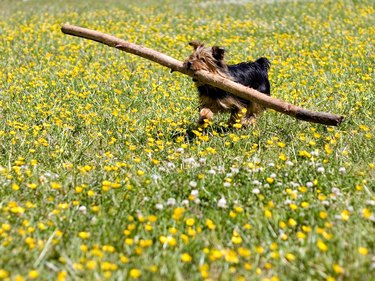 Dog carrying giant stick through yellow field of flowers