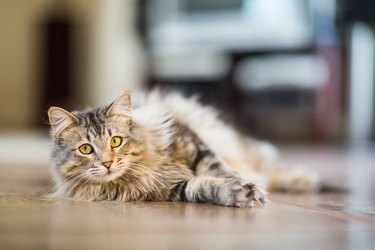 Maine Coon Cat Relaxing Indoors