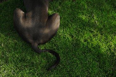 Big black dog tail on grass