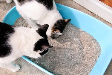 Cats looking in litter box